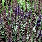 Perennial Long Blooming Sage